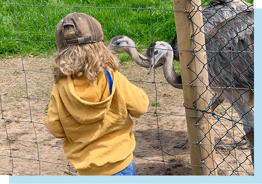 Young girl looking at the two rhea who are behind a mesh fence